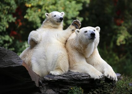 Polar bears Tonja und Hertha in the Tierpark Berlin