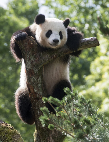 pandas at the berlin zoo visitberlin de