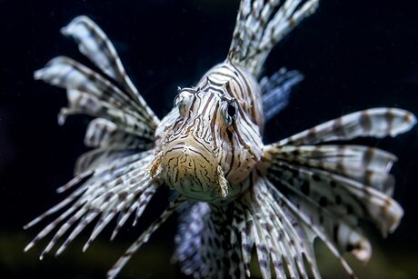 Lionfish in the zoo - Zoological Garden Berlin