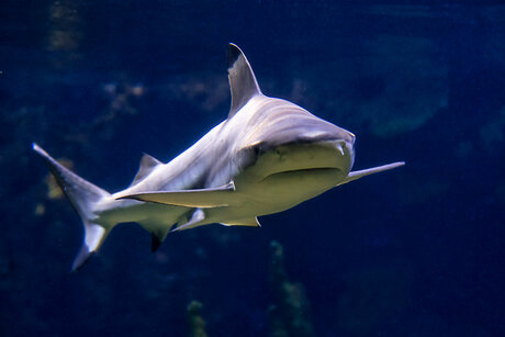 Shark in the Aquarium - Zoological Garden Berlin