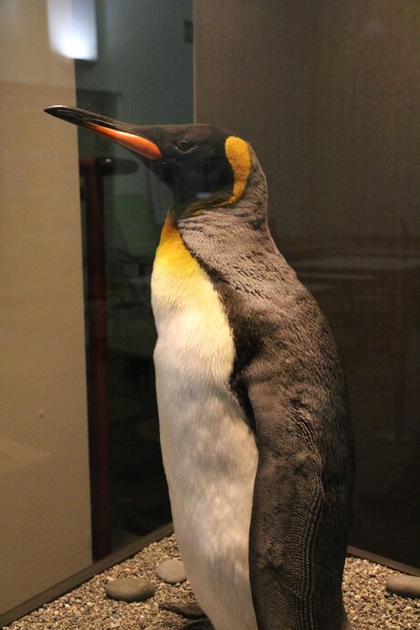 Penguin in Museum of Natural History