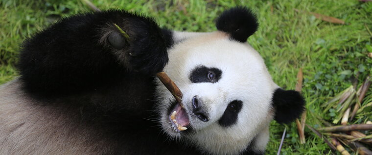 Pandas at Berlin Zoo: Germany´s only pandas Meng Meng & Jiao Qing can be found in Berlin.